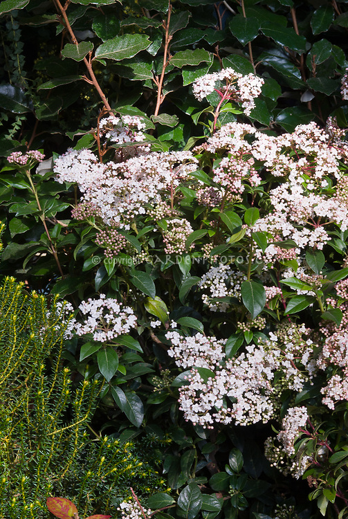 Viburnum tinus Eve Price (AGM) in spring bloom with pink buds and white flowers. Aka Laurustinus Eve Price