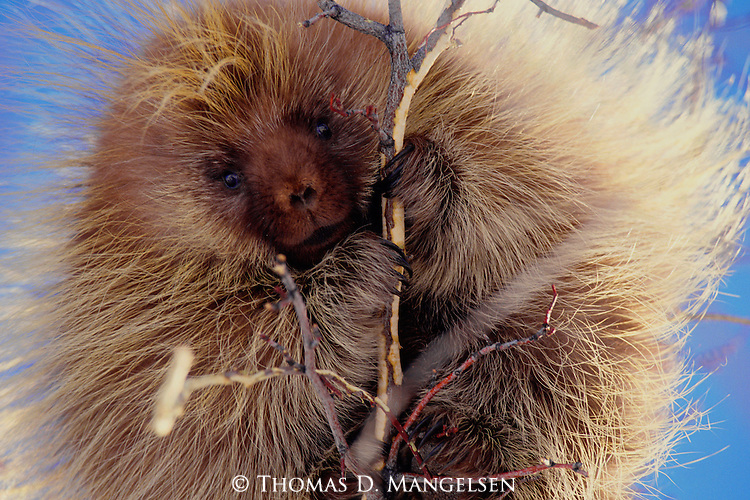 A porcupine having climbed to the top of a willow gnaws the bark off the branches in Grand Teton National Park, Wyoming.