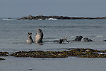 Elephant seal bulls play