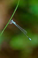 320290005 a wild slender bluet enallagma traviatum perches on a plant leaf near a stream in sam houston national forest san jacinto county texas