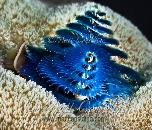 Christmas Tree Like Tube Worm, Yap Micronesia (Photo by Matt Considine - Images of Asia Collection) (Matt Considine)