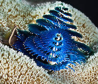 Christmas Tree Like Tube Worm, Yap Micronesia (Photo by Matt Considine - Images of Asia Collection)