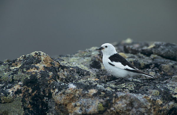 Snow Bunting, Plectrophenax nivalis,male with insects, Gednjehogda, Norway, Europe