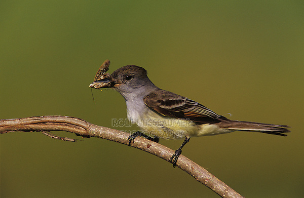 Brown-crested Flycatcher, Myiarchus tyrannulus, adult with insect, The Inn at Chachalaca Bend, Cameron County, Rio Grande Valley, Texas, USA, May 2004