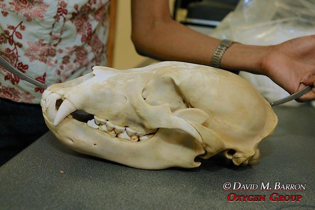 Ramona Maraj Measuring Black Bear Skull