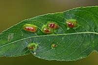Weidengallenblattwespe, Weidengallen-Blattwespe, Weidenblattwespe, Weiden-Blattwespe, Galle an Mandelblättriger Weide, Salix triandra, Pontania triandrae