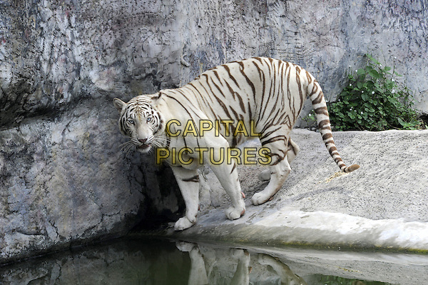 Malayan Tiger (Panthera tigris jacksoni) .animal stripes fur cat big wild Bengal.CAP/CJ.©Chris Joseph/Capital Pictures.