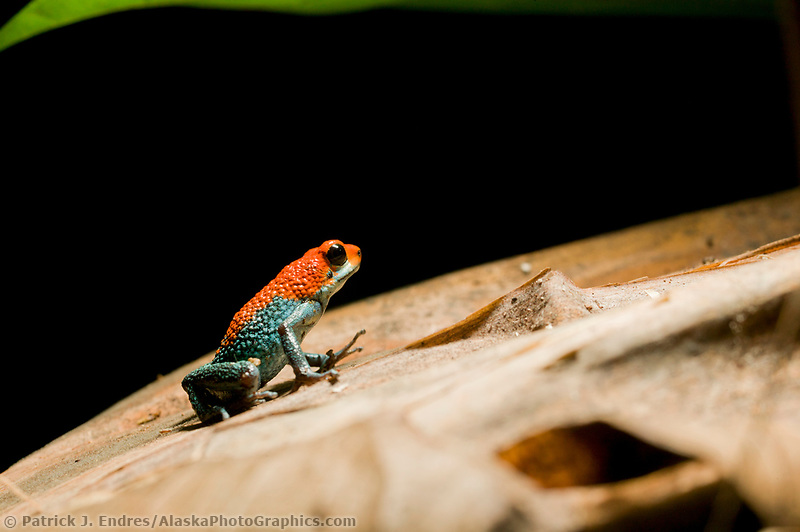 Green jeans Dart Frog (Granular poison frog, Dendrobates granuliferus), Tiskita, Southern Costa Rica, Central America