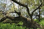 Israel, Jujube trees in the Lower Galilee