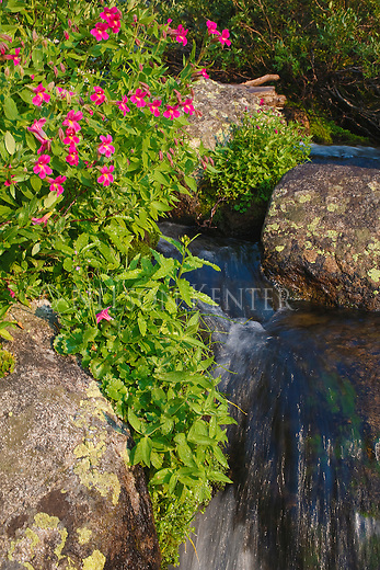 Monkeyflower on the bank of a small stream in the Beartooth Wilderness in Montana