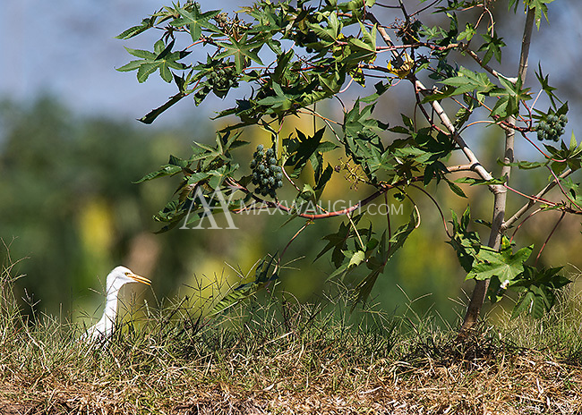 Cattle egrets are commonly seen near the Rio Tarcoles.