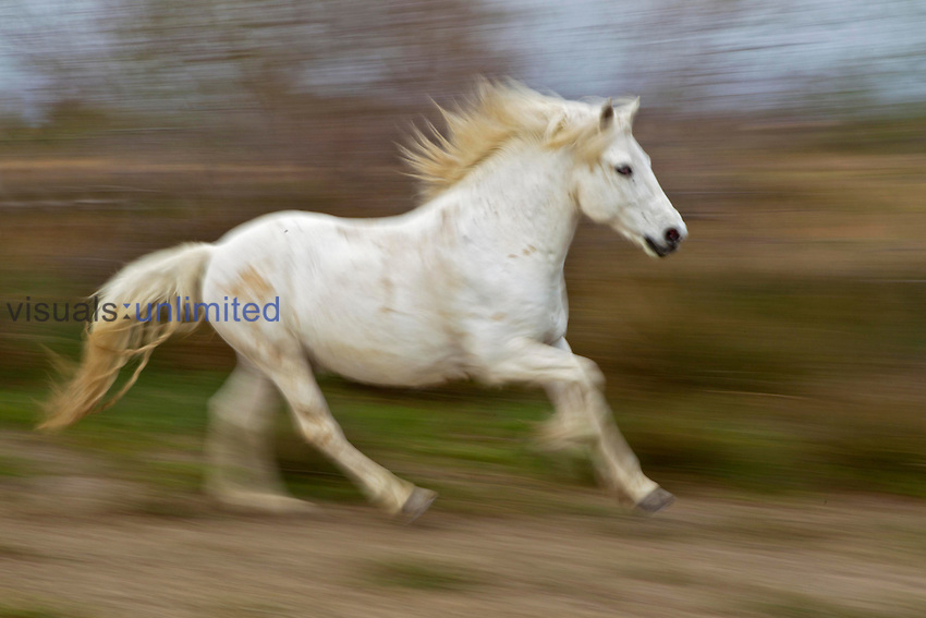 Camargue Horse running, France