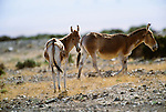 Asiatic Wild Ass, or onager, Great Gobi Protected Area, Mongolia