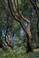 Dancing shaped tree in forest, El Hierro,Canary Islands, Spain.