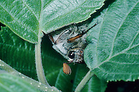 Common Cockchafer, Melolontha melolontha, male eating, Seewen, Switzerland, May 1994