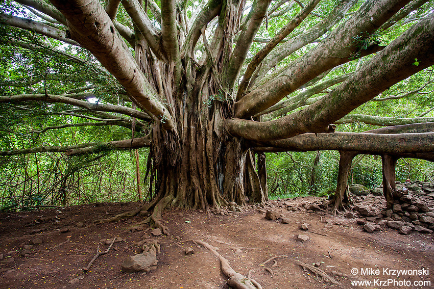 Large Banyan tree along the Pipiwai hiking trail, Haleakala National Park, Kipahulu, Maui