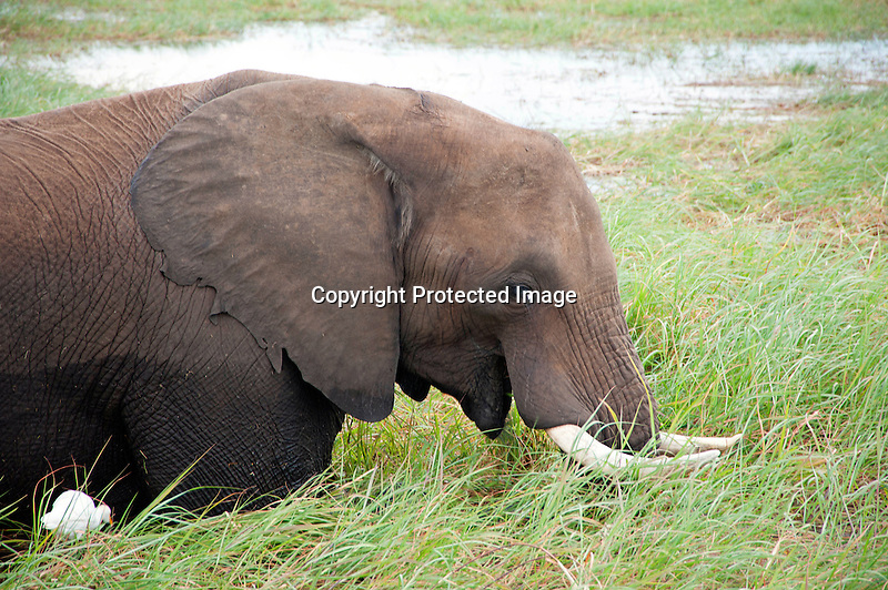 Elephant Wading and Eating Grasses in Chobe River in Botswana