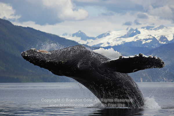 pu0816-D. Humpback Whale (Megaptera novaeangliae) breaching. Alaska, USA, Pacific Ocean..Photo Copyright © Brandon Cole. All rights reserved worldwide.  www.brandoncole.com..This photo is NOT free. It is NOT in the public domain. This photo is a Copyrighted Work, registered with the US Copyright Office. .Rights to reproduction of photograph granted only upon payment in full of agreed upon licensing fee. Any use of this photo prior to such payment is an infringement of copyright and punishable by fines up to  $150,000 USD...Brandon Cole.MARINE PHOTOGRAPHY.http://www.brandoncole.com.email: brandoncole@msn.com.4917 N. Boeing Rd..Spokane Valley, WA  99206  USA.tel: 509-535-3489