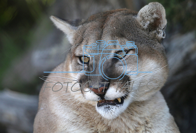 Daniel, a 6-year-old mountain lion, watches a visitor at the Animal Ark Wildlife Sanctuary, north of Reno, Nev., on Monday, May 1, 2017. <br />Photo by Cathleen Allison/Nevada Photo Source