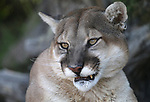 Daniel, a 6-year-old mountain lion, watches a visitor at the Animal Ark Wildlife Sanctuary, north of Reno, Nev., on Monday, May 1, 2017. <br />