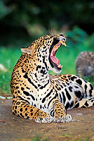jaguar, Panthera onca, adult, female, yawning