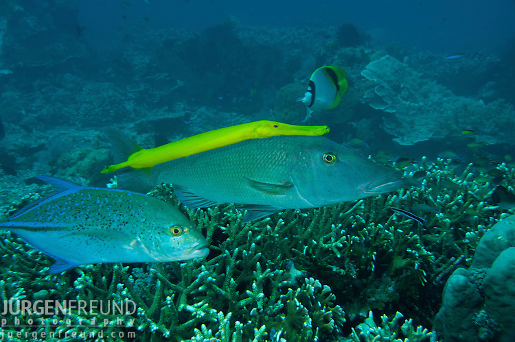 Yellow trumpetfish (Aulostomus chinensis)