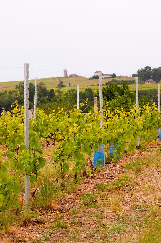 gamay vineyard trellised moulin a vent beaujolais burgundy france