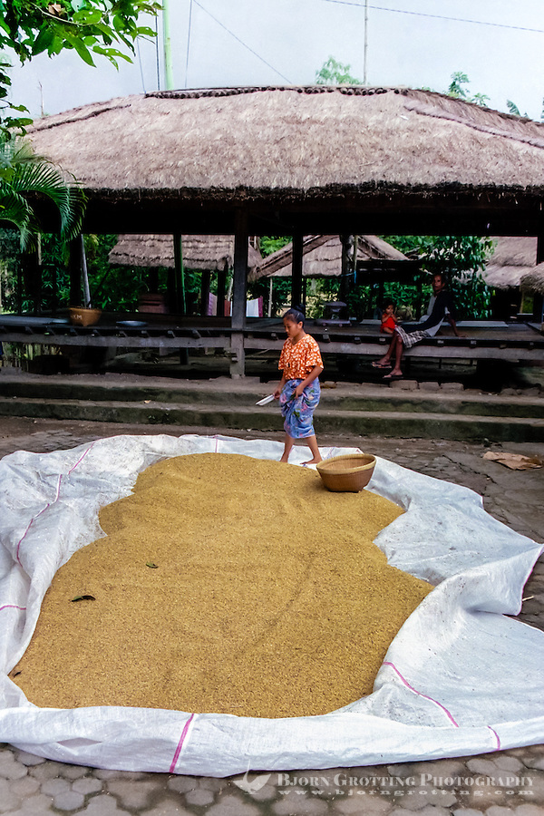 Nusa Tenggara, Lombok, Sade. Drying of rice. In the background a beruga, a TV set is sponsored by the government, which can draw 200 people here every evening. Sade village.