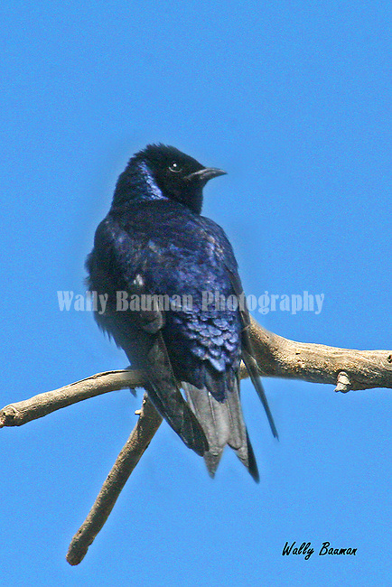 PURPLE MARTIN progne subis<br />