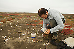 Snowy Plover (Charadrius nivosus) biologist, Ben Pearl, checking eggs to see how close they are to hatching, Eden Landing Ecological Reserve, Union City, Bay Area, California