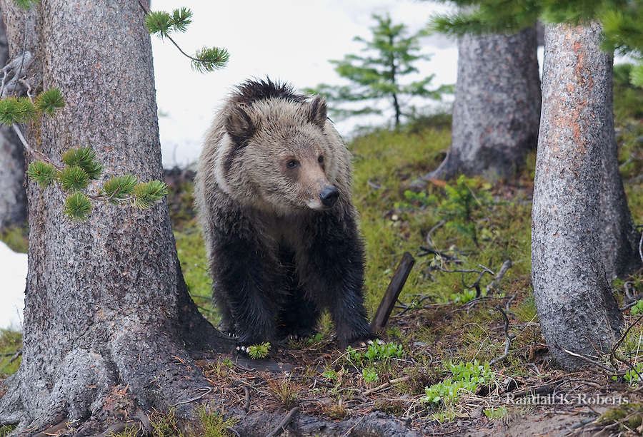 A young grizzly bear (Ursus arctos horribilis) surveys his turf on Mt. Washburn, Yellowstone National Park, Wyoming.