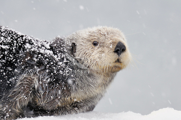 Alaskan or Northern Sea Otter (Enhydra lutris) resting out-of-water during snowstorm.