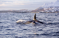 Killer whale, Orcinus orca, calf surfacing close beside mother, Tysfjord, Arctic Norway, North Atlantic