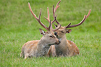 Sika Deer Cervus nippon Shoulder height 70-90cm Has body proportions of Fallow Deer but pointed antlers like Red Deer. Adult is reddish brown with whitish spots in summer, dark grey-brown in winter. Rump is whitish with black margin; tail is white with dark median line above. Male's antlers appear in spring, mature in autumn, and are shed in winter Number of antler points increases with age. Calf is reddish brown with whitish spots. Male utters blood-curdling screams during autumn rut. Introduced to Britain from Far East. Feral populations exist in several parts of the region. Favours wooded country. Mainly nocturnal.