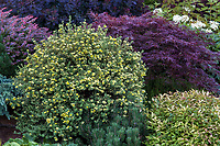 Potentilla fruticosa 'Katherine Dykes'  in flowering in hillside shrub border with Acer palmatum dissectum 'Red Dragon' (Laceleaf Japanese Maple) and Nandina 'Moon Bay' with pale green foliage, Seattle Washington, Stacie Crooks design