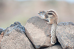 Barbary ground squirrel, Atlantoxerus getulus, sitting on wall after rain shower, Fuerteventura, Canary Islands. Introduced from North Africa