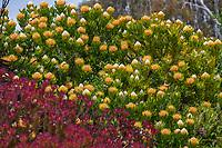 Leucospermum cordifolium 'Veldt Fire' 'Veldfire'