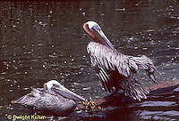 PE01-001z  Brown Pelican - preening feathers - Pelecanus occidentalis