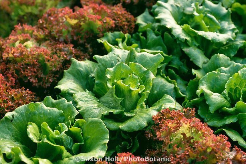 Bibb lettuce in garden
