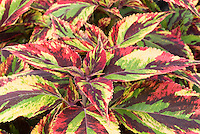 Coleus 'Combat' Solenostemon annual foliage plant shown in detail with leaf closeups in man colors of green, red, yellow, burgundy