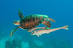 Chelonia mydas, Green sea turtle, Roatan