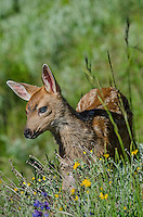 Columbian black-tailed deer (Odocoileus hemionus columbianus) fawn standing among wildflowers.  Pacific Northwest.  Summer.