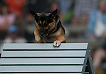 Vancouver, Canada, Aug 6th 2009. World Police and Fire Games, Police Service Dog Competition. Grim, a seven-year-old German Shepherd, climbs over an obstacle in the Agility portion of the competition. Grim an his handler, Corporal Joe Hall, Verdes Estates Police Department, California, USA, earned second place in the  Protection portion of the competition later that day.  Photo by Gus Curtis.