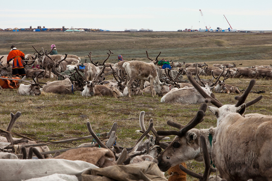 Bovanenkovo ,Yamal Peninsula, Russia, 09/07/2010..A new railway line being built by Gazprom sits behind the Nenets indigenous nomadic reindeer herders preparing to leave their overnight camp on sledges heading north to the Russian Arctic coast.