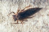 Zweigestreifte Quelljungfer, Larve, Cordulegaster boltonii, Cordulegaster annulatus, Cordulegaster boltoni, Golden-ringed dragonfly, golden ringed dragonfly, larva, larvae