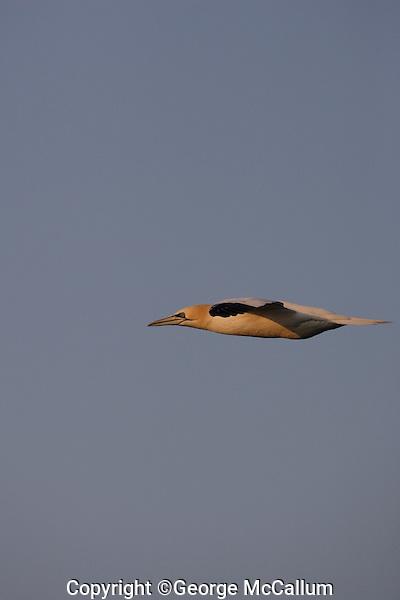Northern Gannet Morus bassanus or Sula bassana flying over sea  at sunset