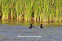 00742-00201 Ring-necked Ducks (Aythya collaris) males in wetland, Starr Co., TX