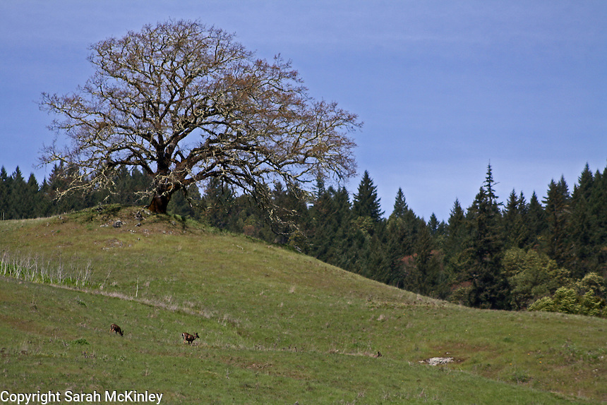 Two deer grass on a small, grassy hill near a large oak tree along Muir Mill Road in Willits in Mendocino County in Northern California.