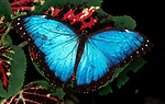Morpho Peleides Butterfly, wings open on leaf, blue, rainforest, jungle.Costa Rica....