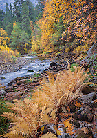 Yosemite National Park, CA: Ferns on the upper bank of the Merced River in fall.